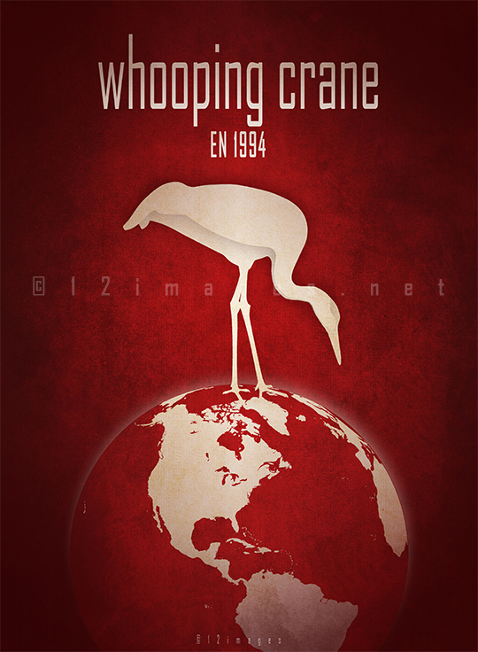 whooping crane Grus americana North America migratory populations endangered unregulated hunting habitat loss conservation efforts USFWS recovery plans