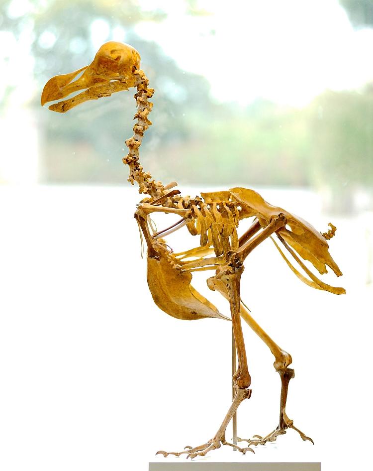 Dodo skeleton Durrell Wildlife Park