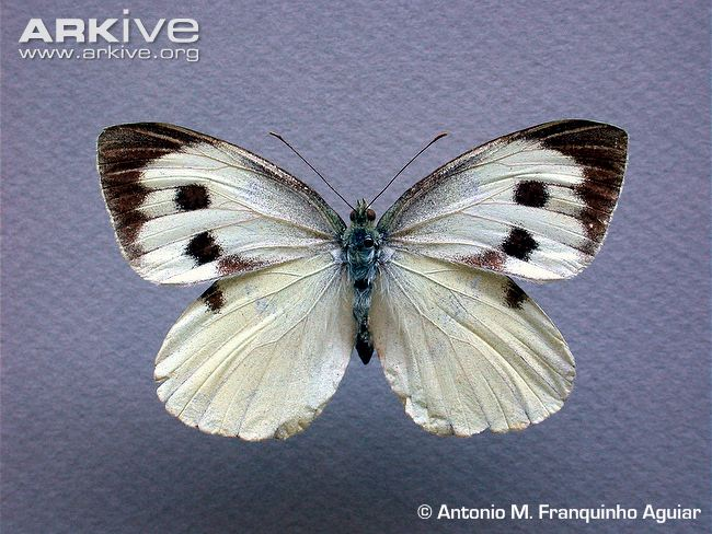 Female Madeiran large white