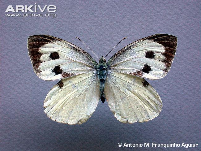 Female Madeiran large white