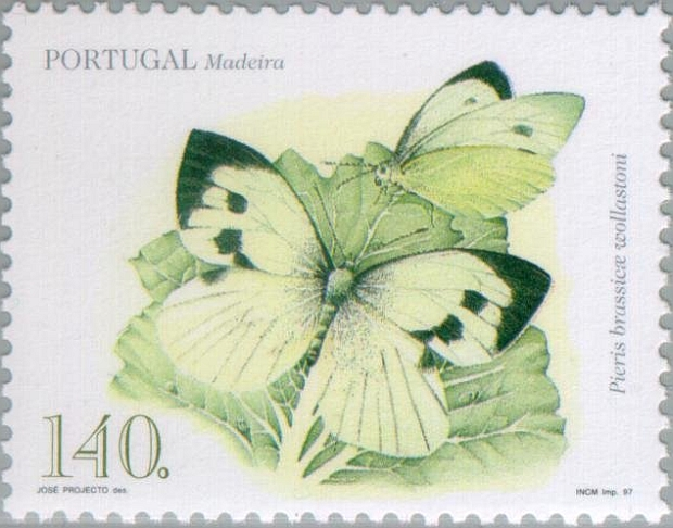 Madeiran-Large-White-Pieris-brassicae-wollastoni