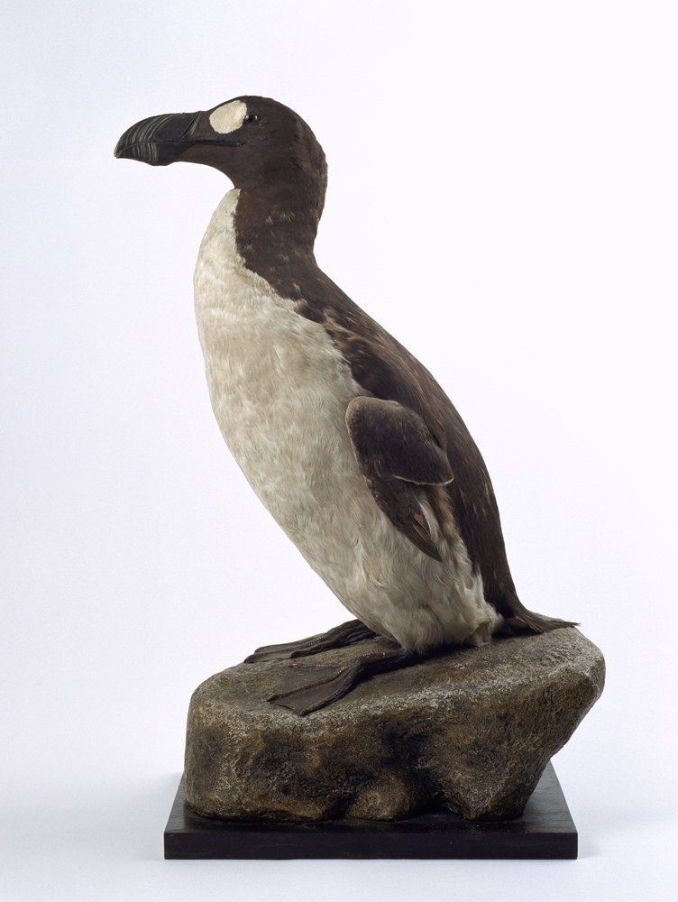 great-auk-specimen-glasgow museums collection