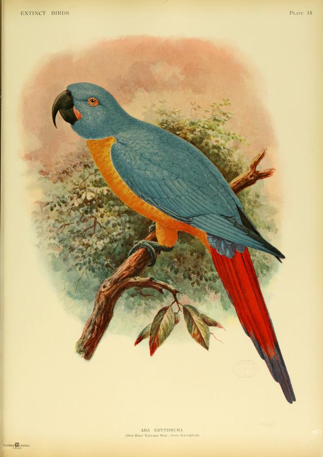 Martinique-macaw-Caribbean-ara-erythrura-hypothetical-macaw