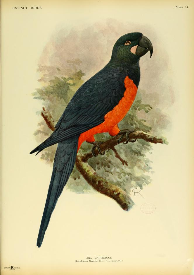 Martinique-macaw-orange-bellied-macaw-ara-martinicus-hypothetical-species