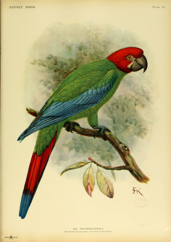 red-headed-macaw-Jamaican-green-and-yellow-macaw-ara-erythrocephala-hypothetical-species