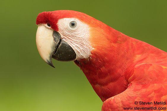 scarlet-macaw-Ara-macaw