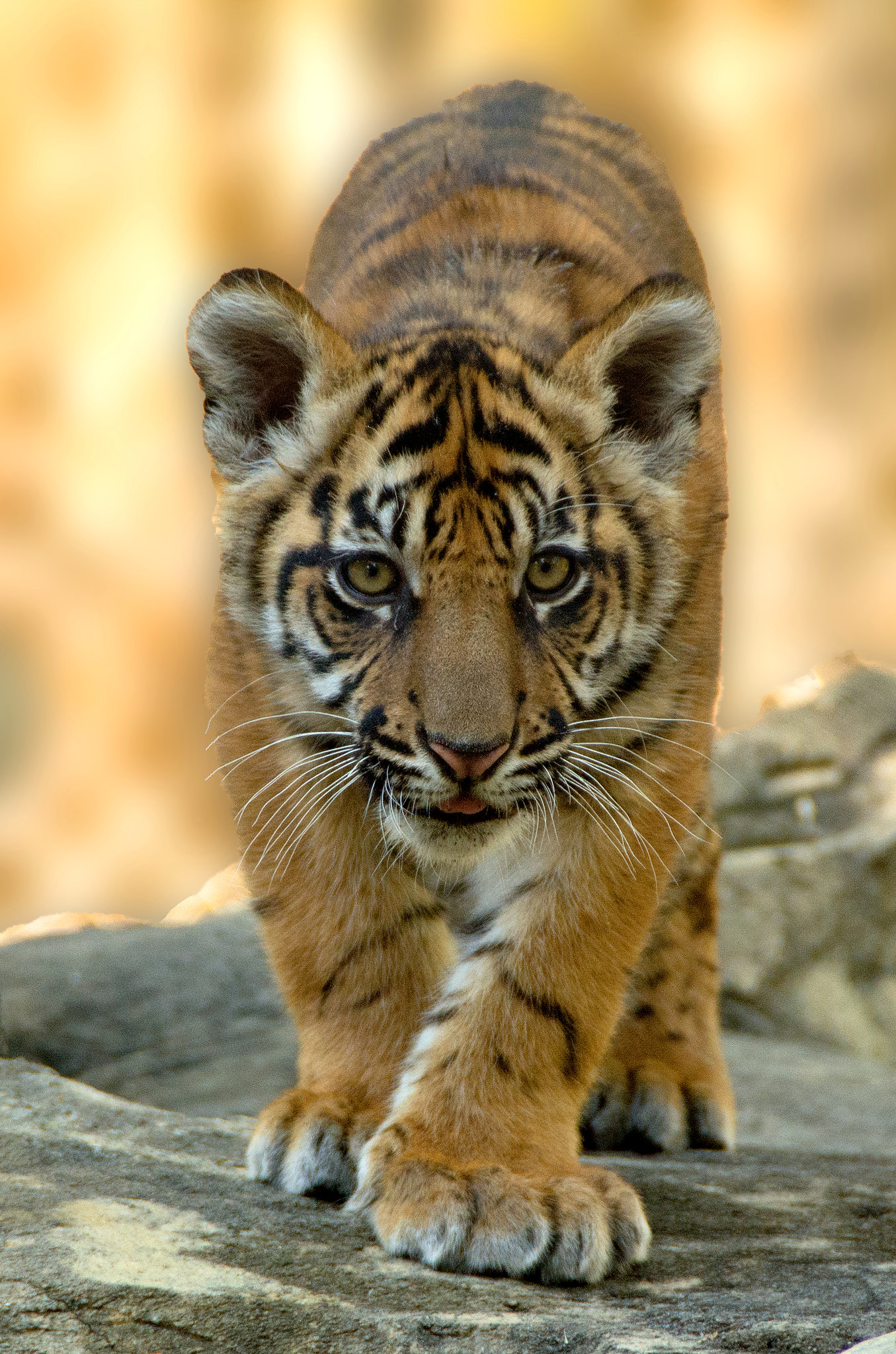 The Bali Tiger Hunted To Extinction 12 Images