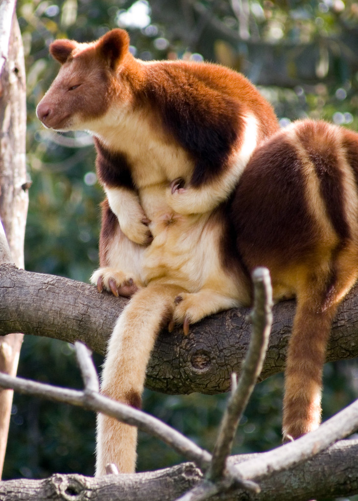 Goodfellow's-tree-kangaroo-conservation-breeding-program-zoo