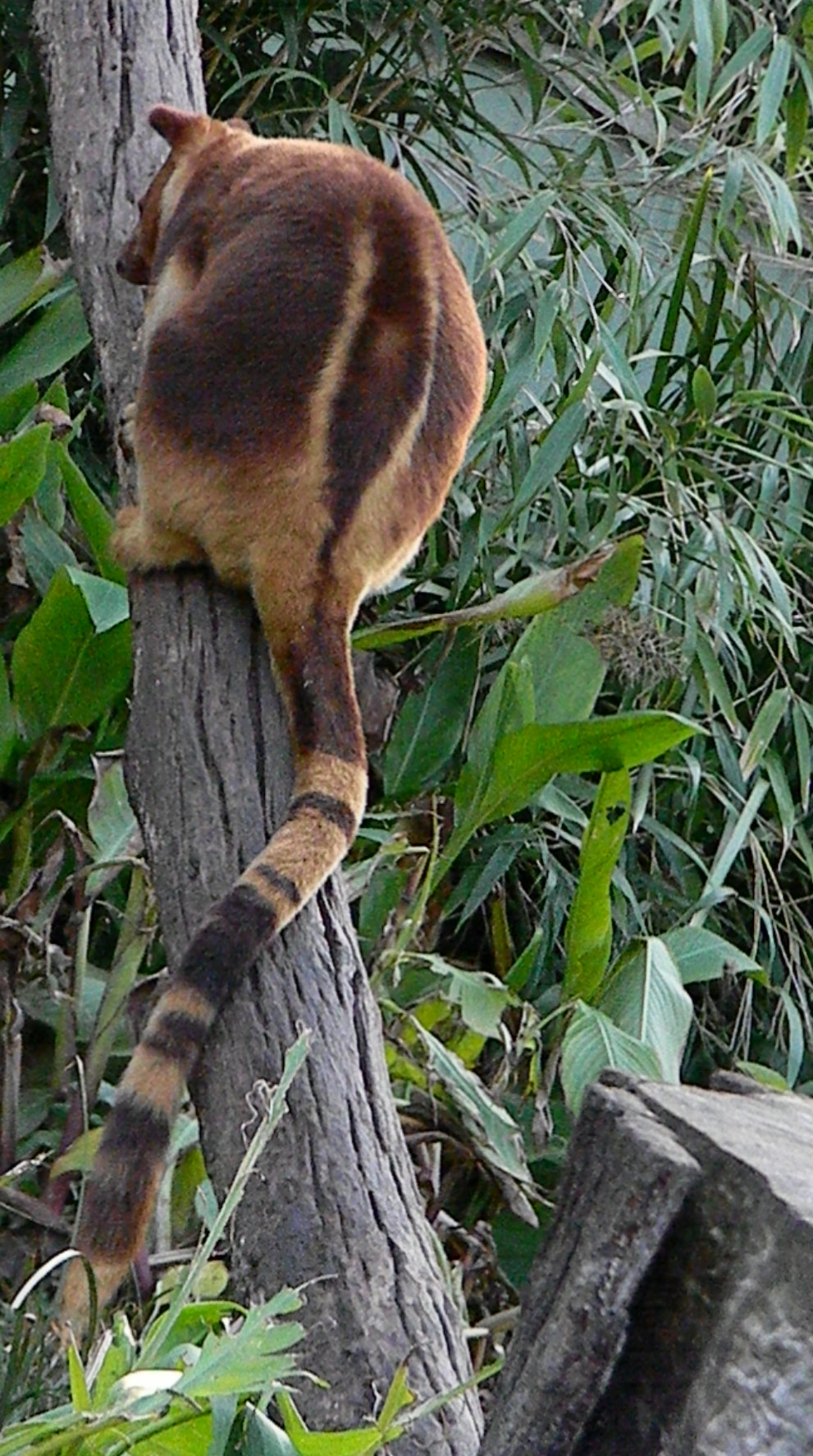 New-Guinea-wildlife-Goodfellow's-tree-kangaroo-Dendrolagus-godfellowi