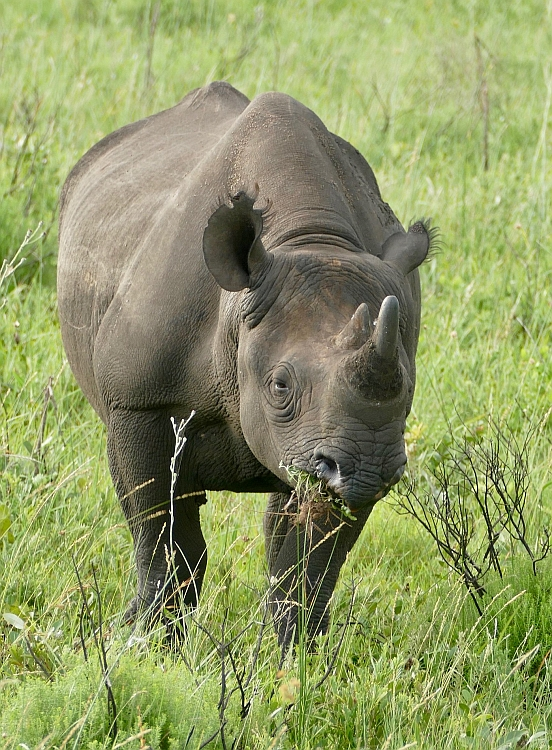 black-rhino-browsing-prehensile-hooked-lip
