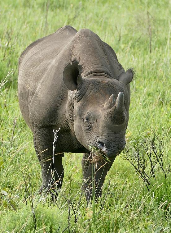 black-rhino-browsing-prehensile-hooked-lip