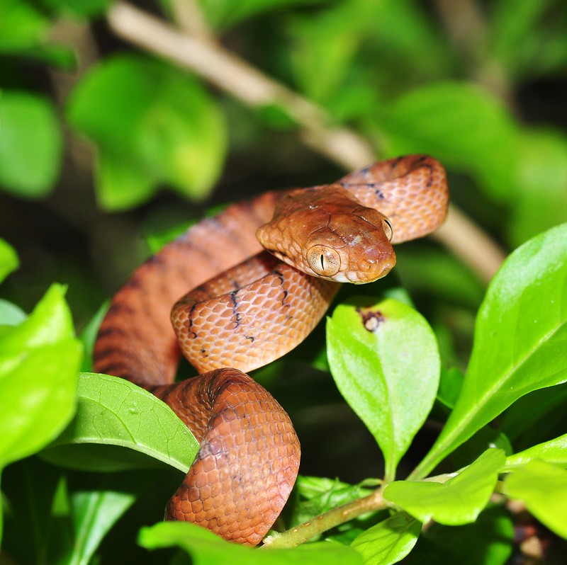 brown tree snake Guam birds flying fox extinction invasive predator species