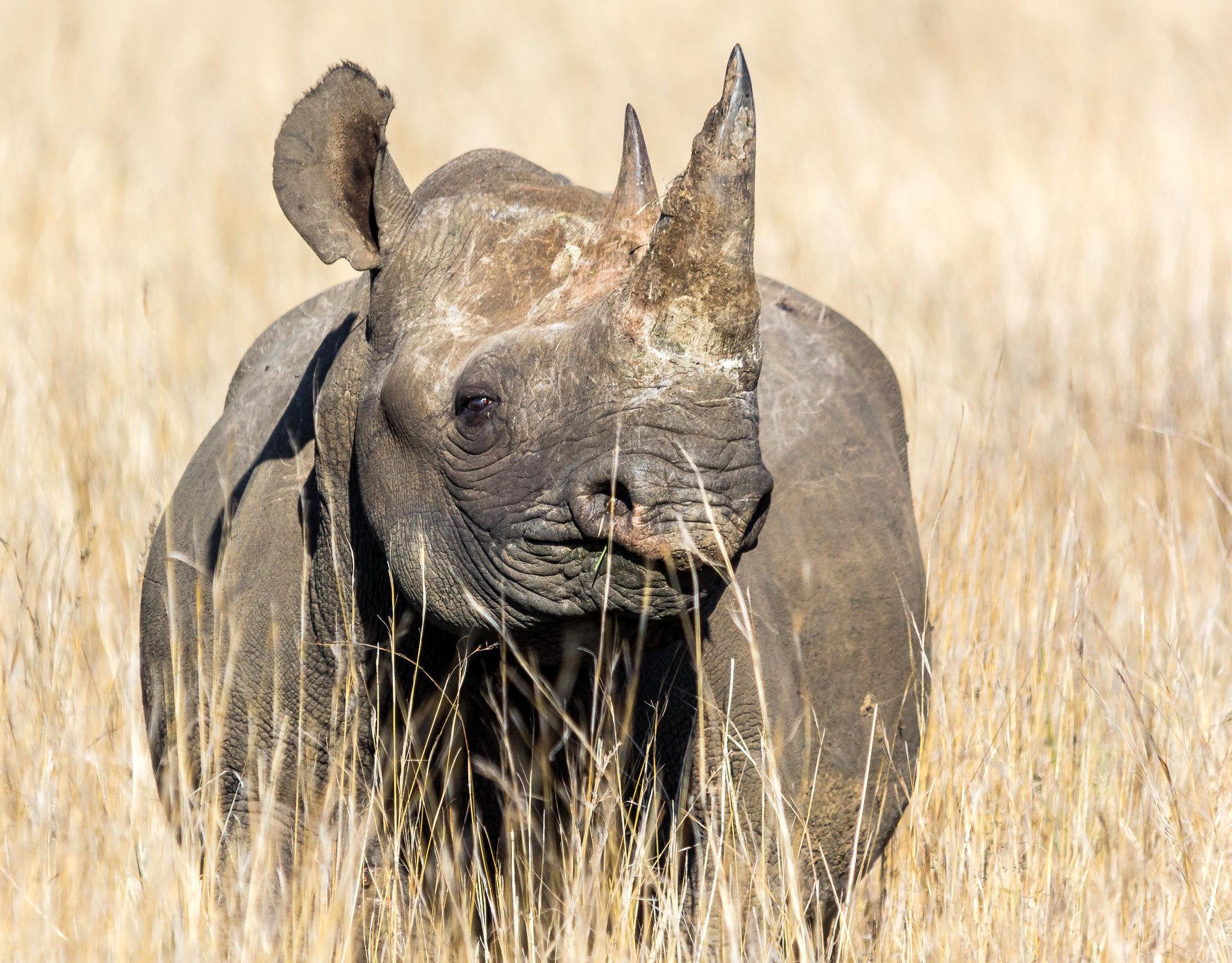critically-endangered-black-rhino-portrait-savanna