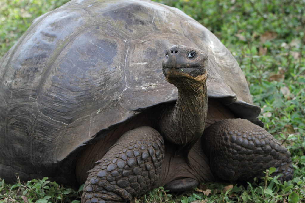 domed-shell-giant-Galápagos-tortoise-carapace-form