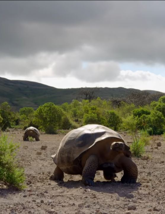 endangered-Galápagos-giant-tortoise-migrating