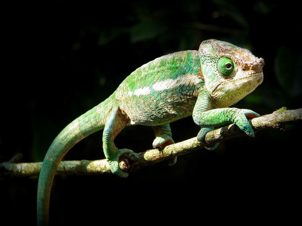 endangered-globe-horned-chameleon