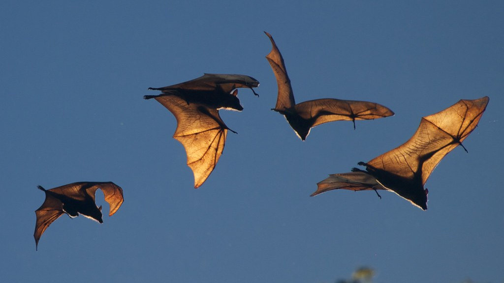 fruit bats megabat flying fox on the sky