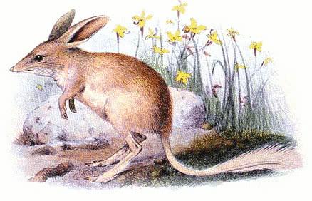 lesser-bilby-yallara-Macrotis-leucura-extinct