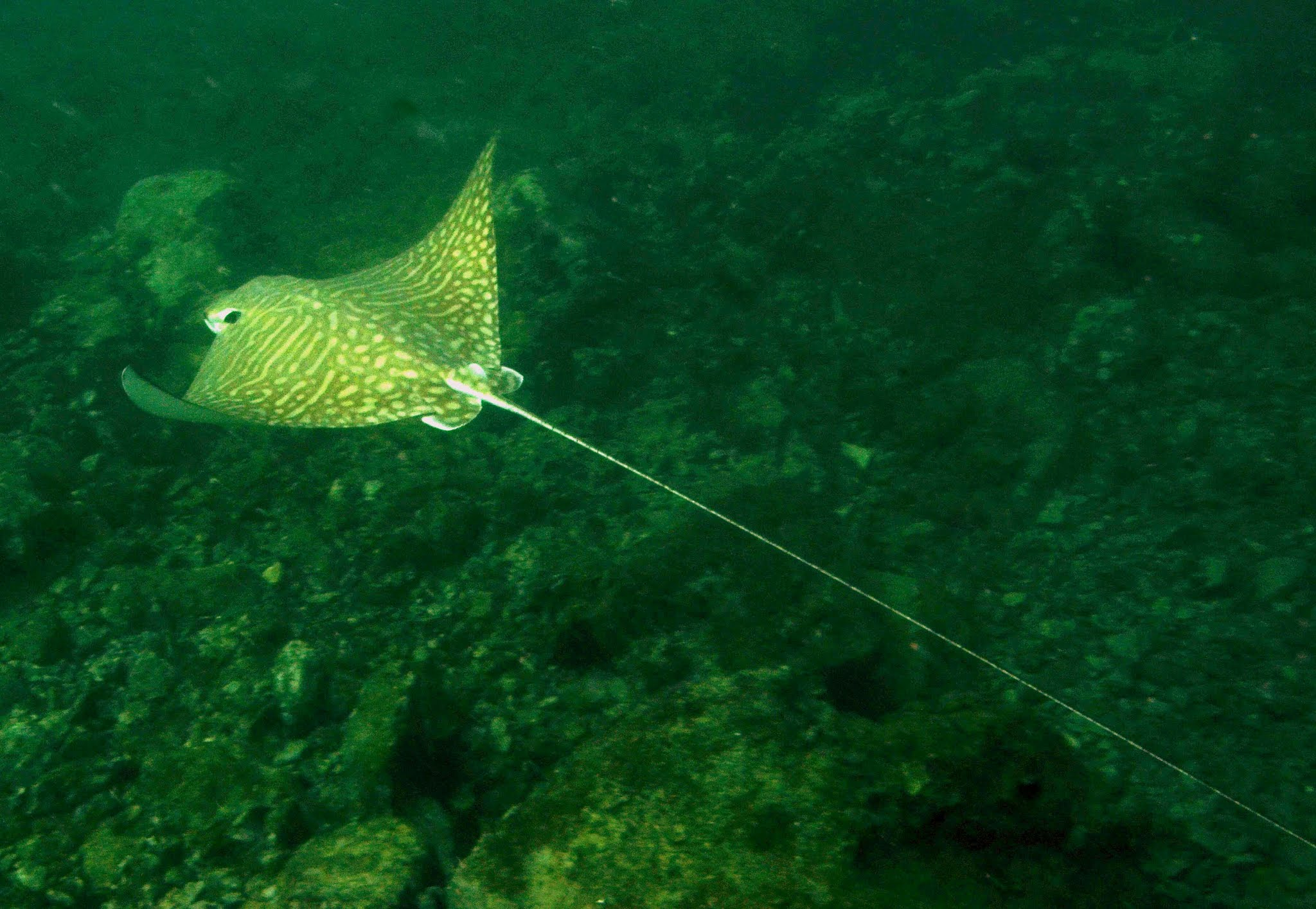 mottled-eagle-ray-Aetomylaeus-maculatus-west-indo-pacific-endangered-by-demersal-inshore-fishing