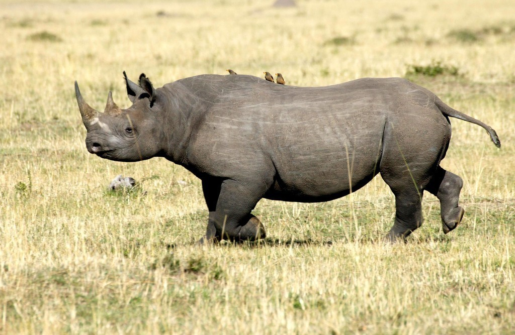 poaching-Cameroon-Western-black-rhino-extinct-subspecies