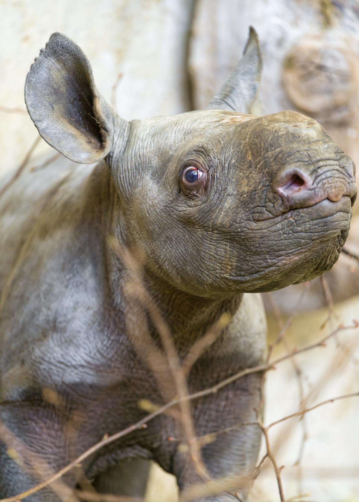 rhino-baby-eastern-black-critically-endangered