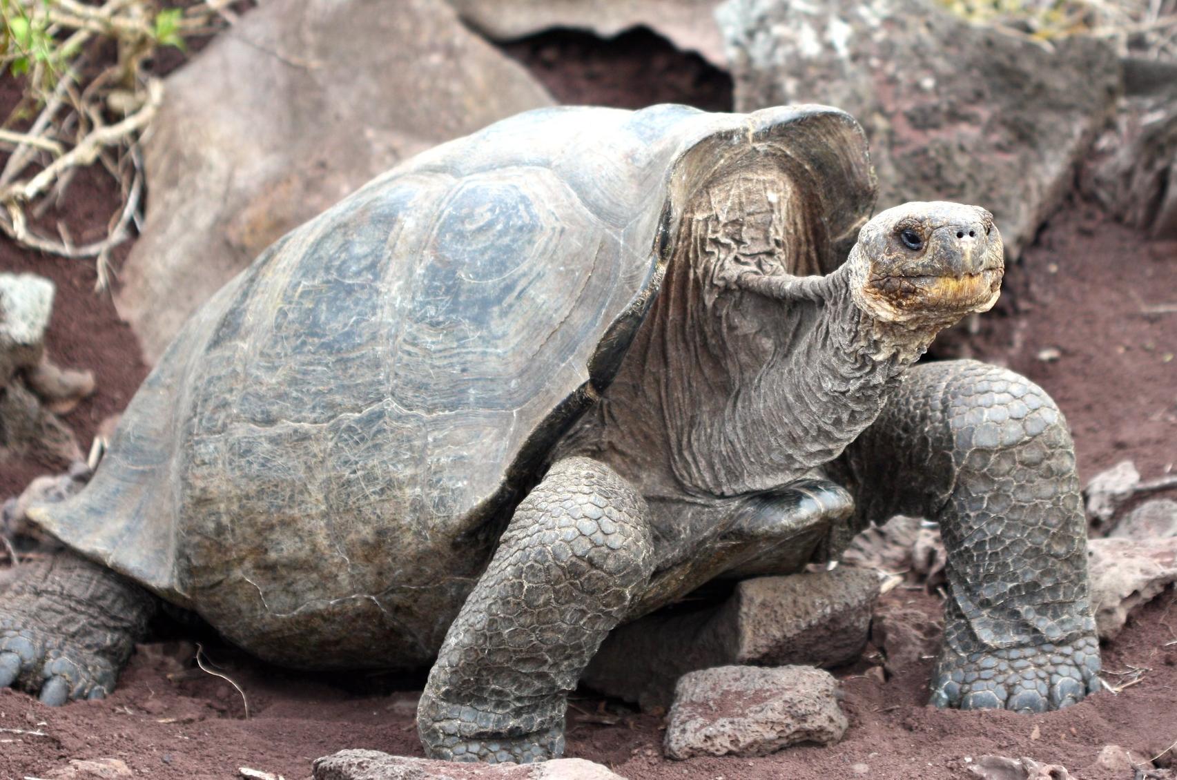 saddleback-shell-giant-tortoise-Galápagos-carapace-form