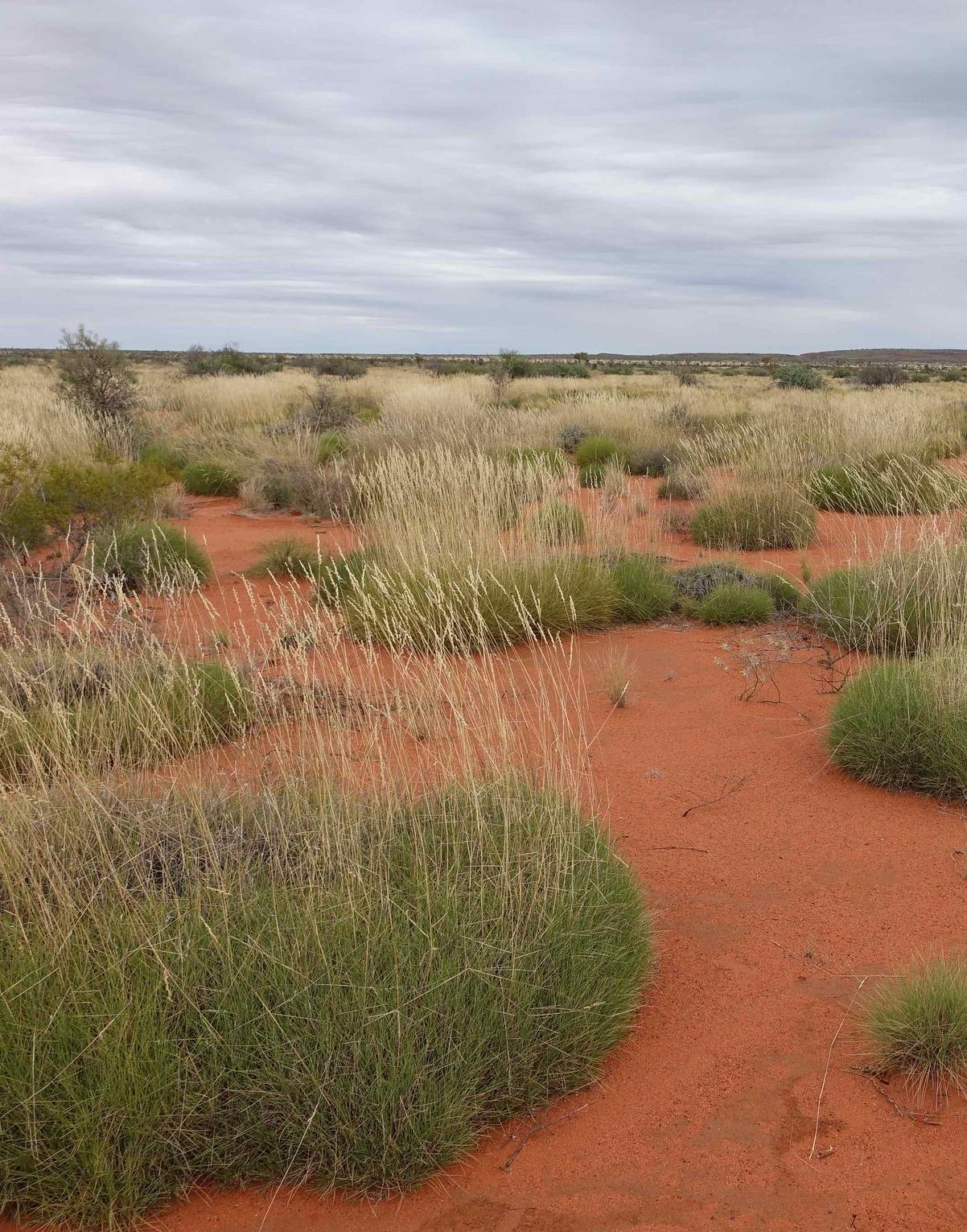 spinifex-hummock-bunchgrass-central-arid-Australia-habitat-bilby