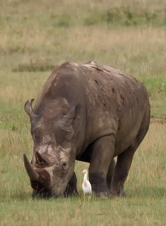white-rhino-grazing-square-lip