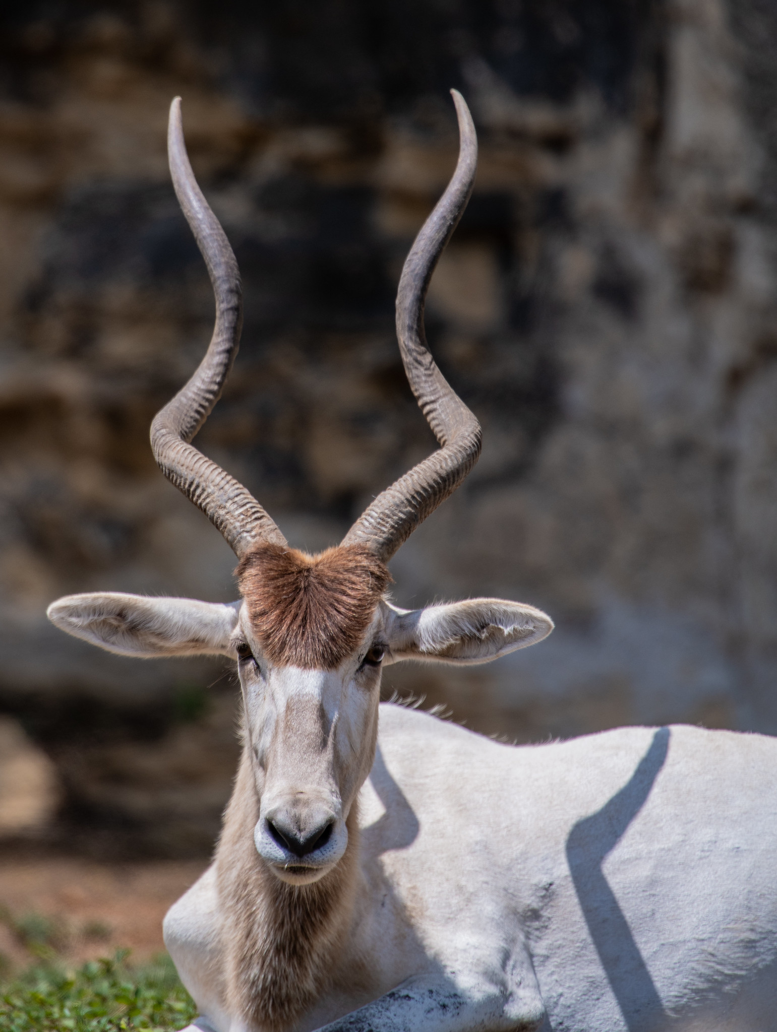 addax-antelope-portrait