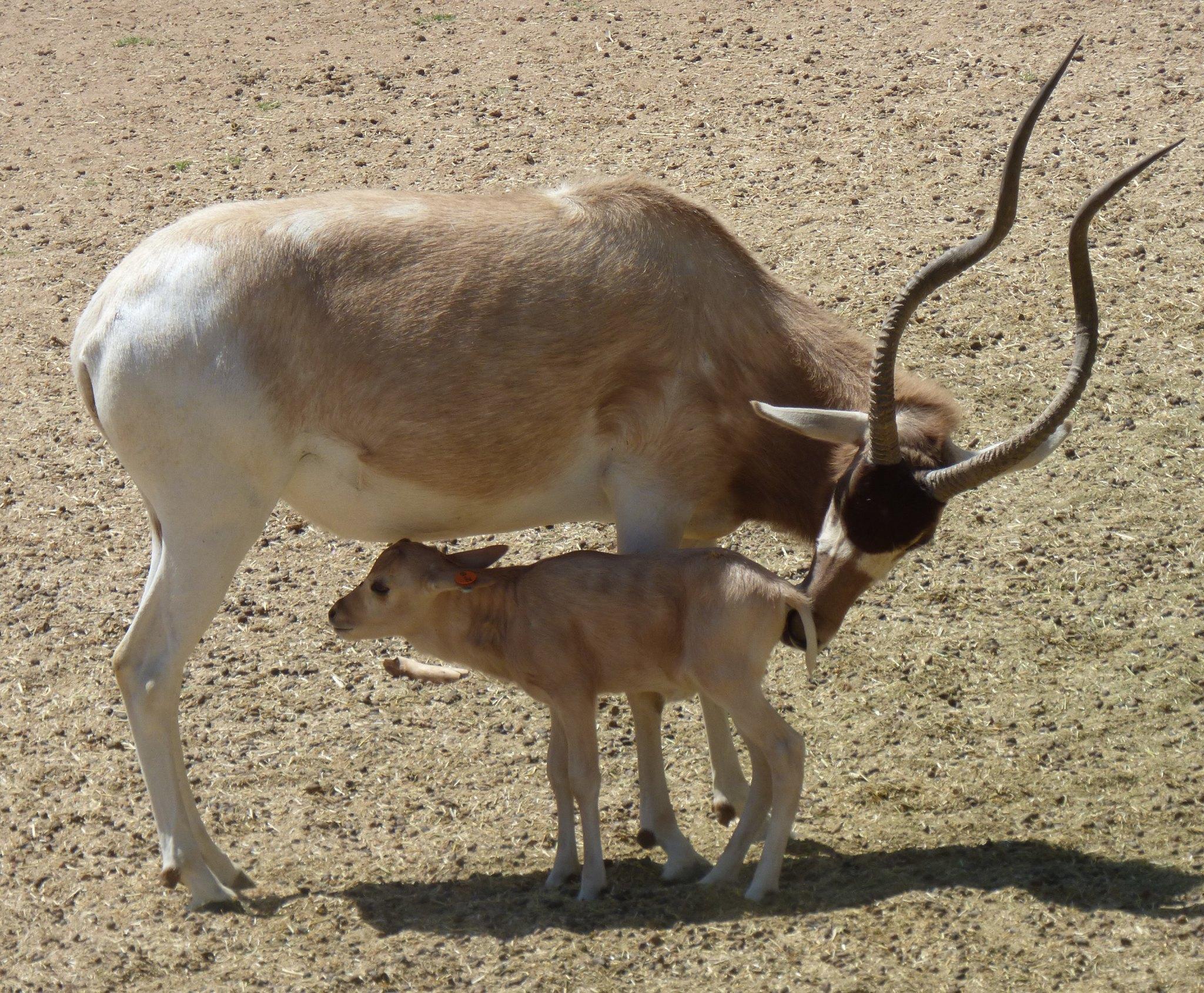 addax-female-baby-calf-nursing-winter-color