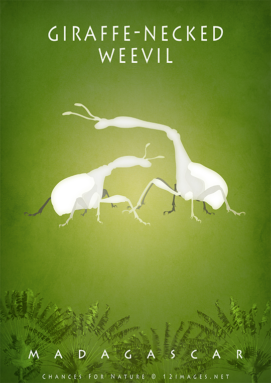 giraffe-necked-weevil