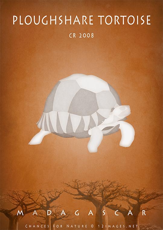 ploughshare-tortoise-angonoka