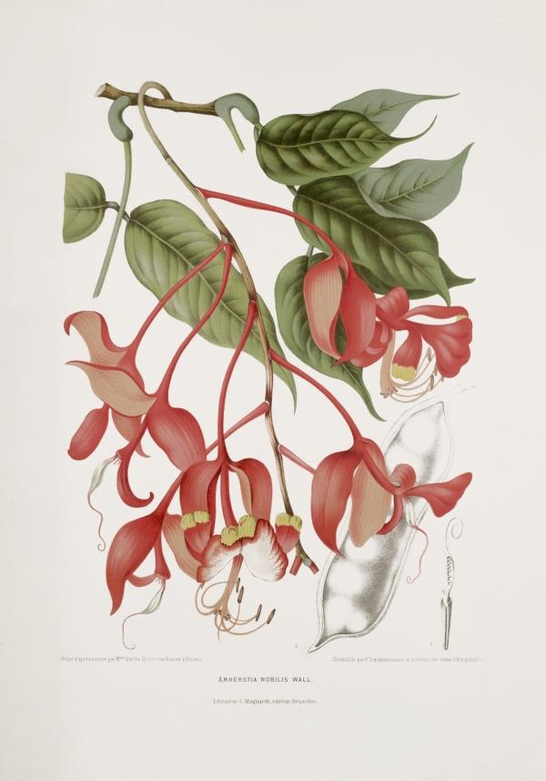 Amherstia-nobilis-botanical-illustration-vintage-antique-print