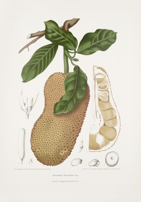 Artocarpus-polyphema-integer-botanical-illustration-vintage-antique-print