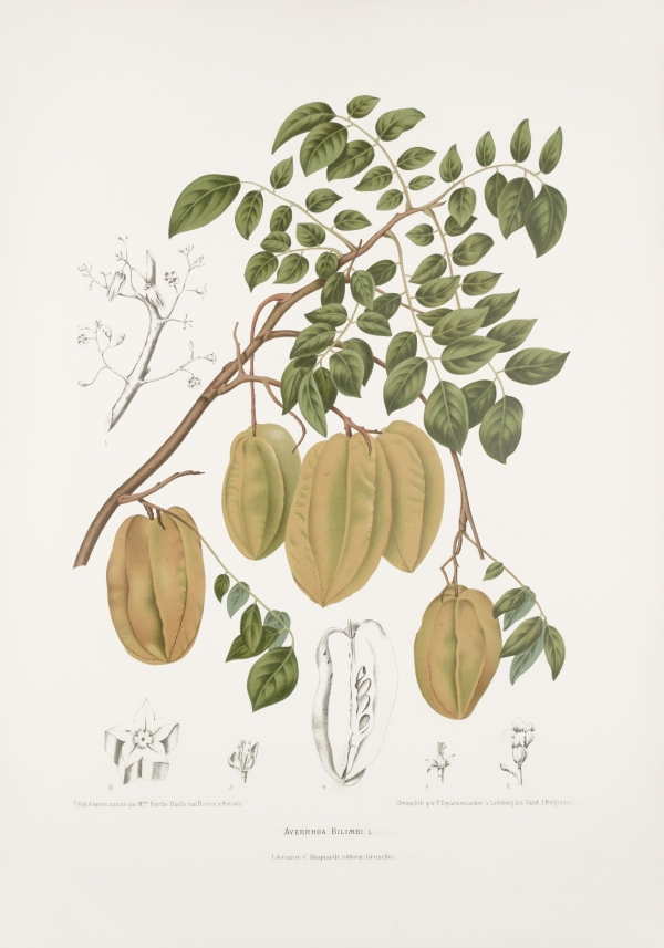 Averrhoa-bilimbi-botanical-illustration-vintage-antique-print
