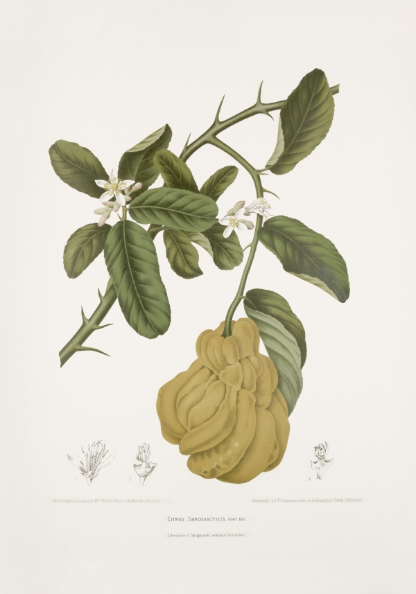 Citrus-medica-sarcodactylis-botanical-illustration-vintage-antique-print