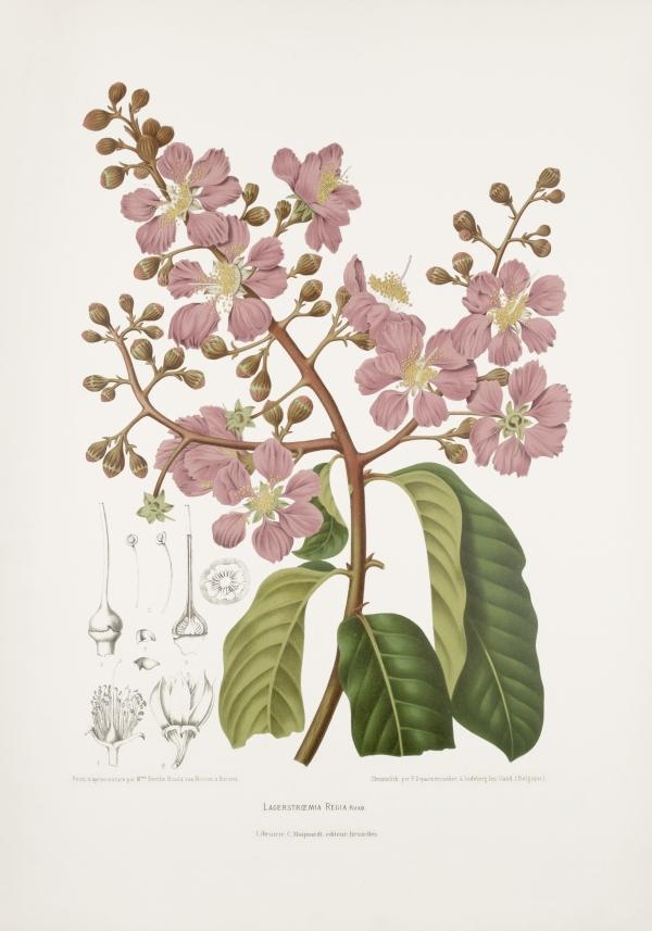 Lagerstroemia-speciosa-regia-botanical-illustration-vintage-antique-print