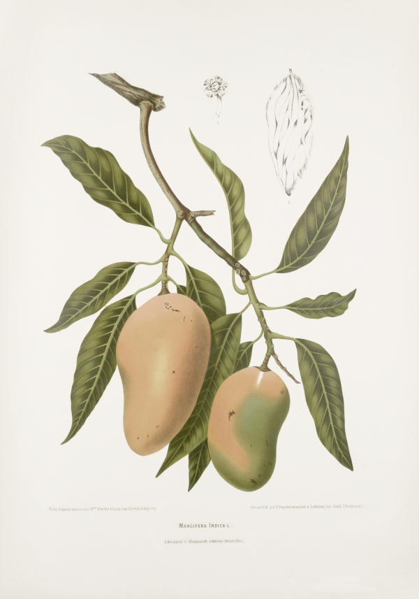 Mangifera-indica-botanical-illustration-vintage-antique-print