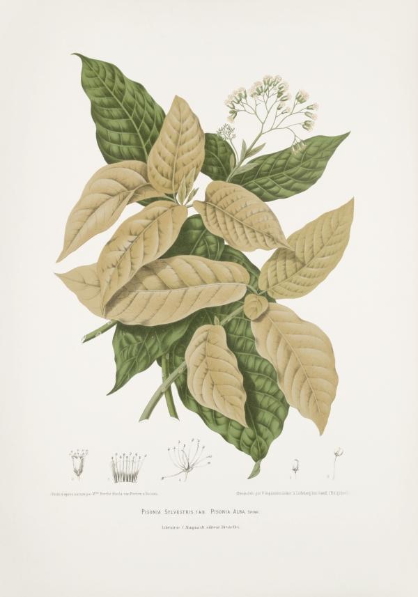 Pisonia-sylvestris-alba-botanical-illustration-vintage-antique-print