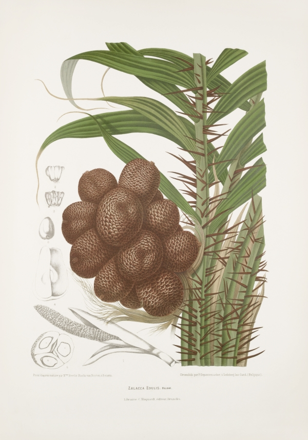 Zalacca-salacca-edulis-botanical-illustration-vintage-antique-print