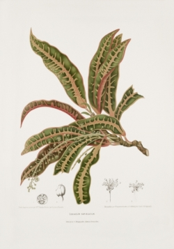 garden-croton-variegated-painting