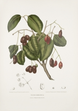 malabar-plum-tree-painting
