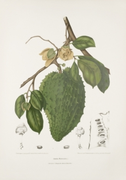 soursop-tree-graviola-painting