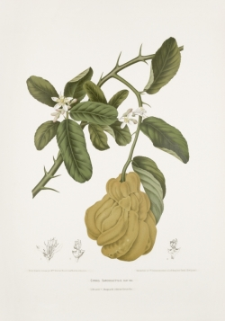 antique-old-plant-drawings