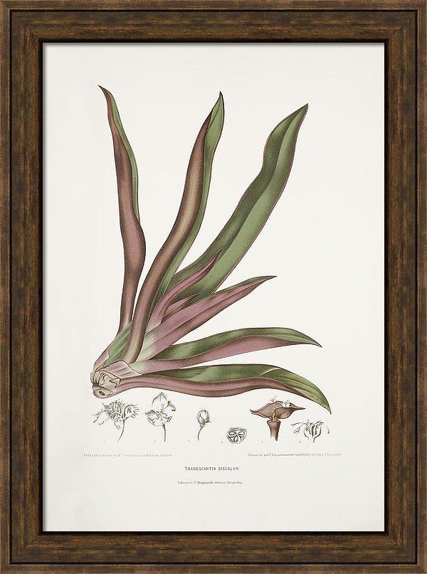 vintage-botanical-illustrations-boatlily-madame-berthe-hoola-van-nooten