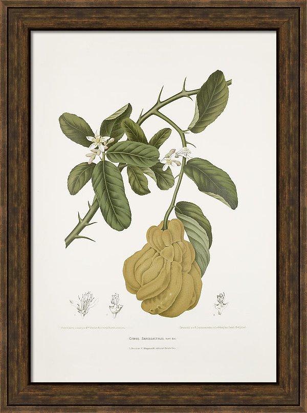 vintage-botanical-illustrations-buddhas-hand-madame-berthe-hoola-van-nooten