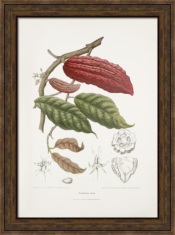 vintage-botanical-illustrations-cacao-tree-madame-berthe-hoola-van-nooten