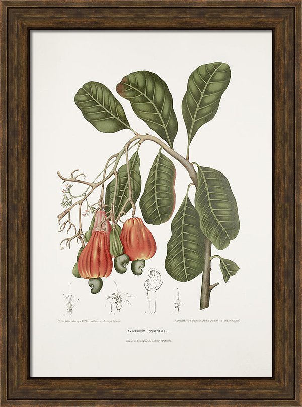 vintage-botanical-illustrations-cashew-tree-moira-risen