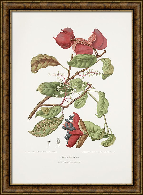 vintage-botanical-illustrations-chinese-chestnut-madame-berthe-hoola-van-nooten