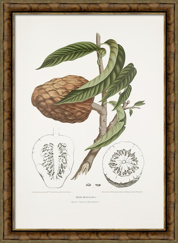 vintage-botanical-illustrations-custard-apple-madame-berthe-hoola-van-nooten